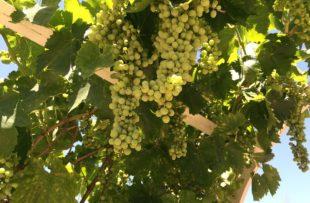 Temecula vines wine vineyard